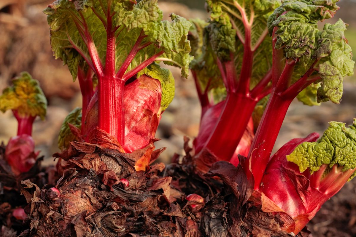Rhubarb shoots growing in early spring